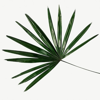 Sfondo di foglia di palma verde fresca