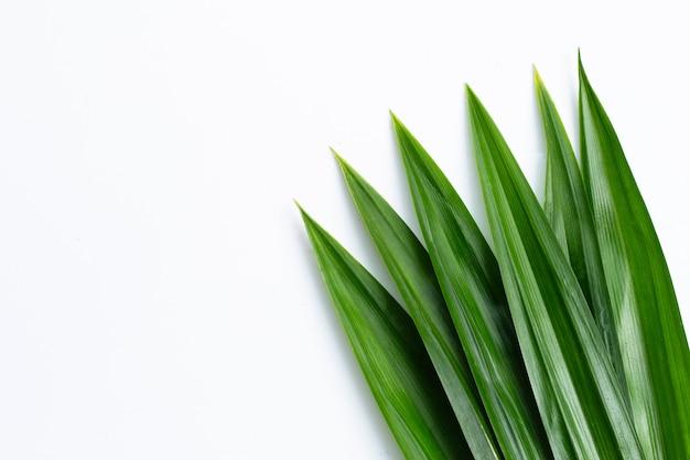 Foglie fresche di pandan verde su sfondo bianco.