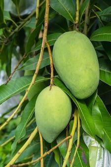 Mango crudo verde fresco dall'albero di mango