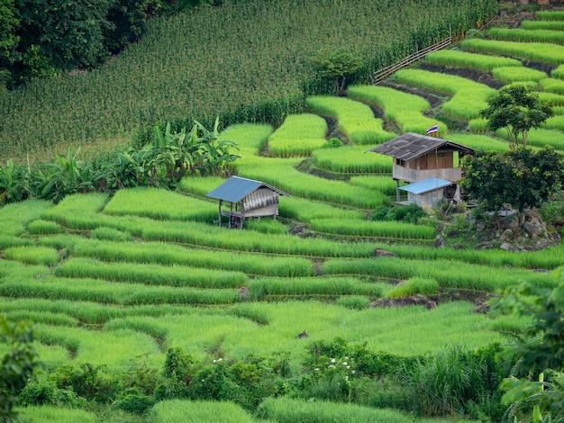 Terrazzo verde fresco del giacimento del riso al villaggio di pa bong piang a maechaem in chiangmai, thailand