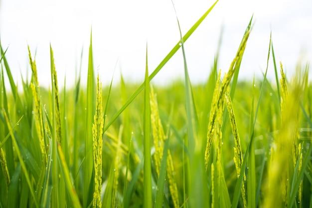 Le risaie verdi fresche nei campi stanno coltivando i loro chicchi sulle foglie con gocce di rugiada