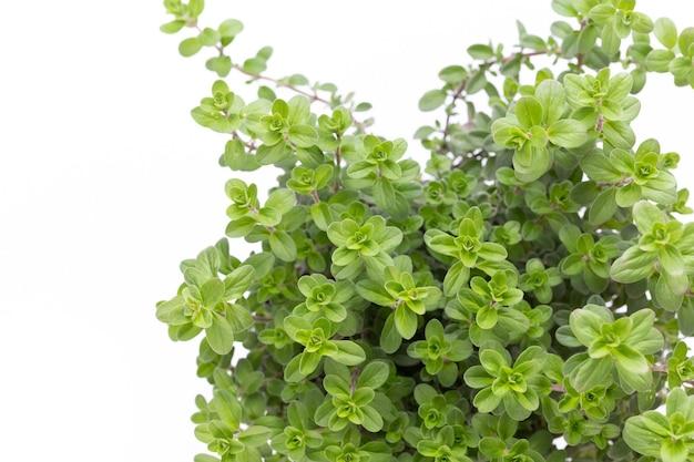 Spezie verdi fresche isolate, vista dall'alto.