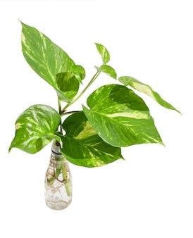 Pianta di betel maculata verde fresca in bottiglia di riutilizzo di plastica bianca isolata sulla parete bianca con il percorso di residuo della potatura meccanica
