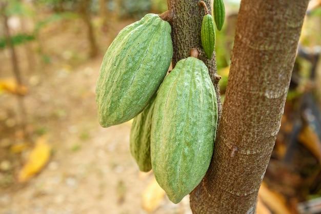 Baccelli di cacao non raccolti verdi freschi