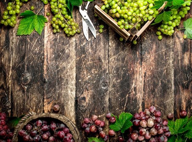 Vendemmia fresca di uve in cassette