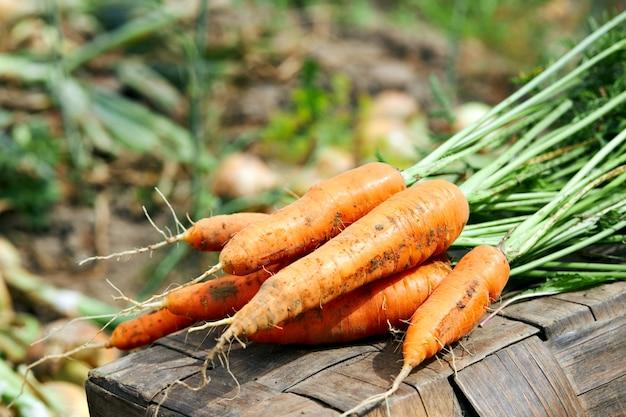 Raccolto fresco di carote biologiche