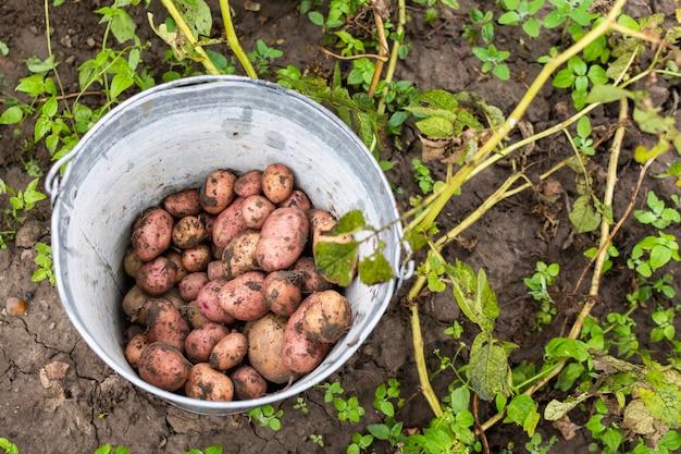 Fresco raccolto di patate biologiche, un secchio di ferro di patate vicino al cespuglio