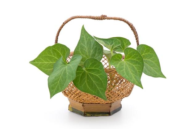 Fresh houttuynia cordata o plu kaow foglie verdi isolate su bianco.