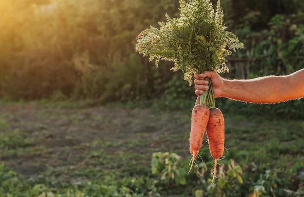 Grandi carote fresche con cime nello spazio della copia della mano di un uomo.