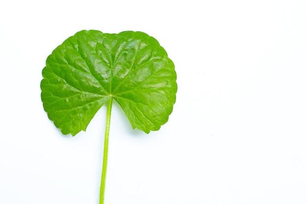 Centella asiatica fresca del foglio, erba e pianta medicinale.