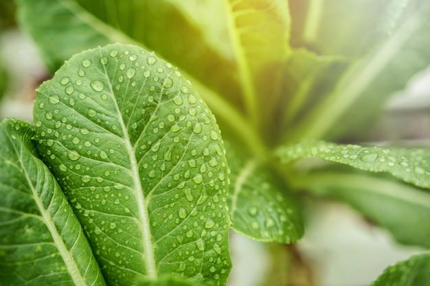 Foglia fresca di verde cos con gocciolina e luce solare in fattoria biologica vegetale idroponica
