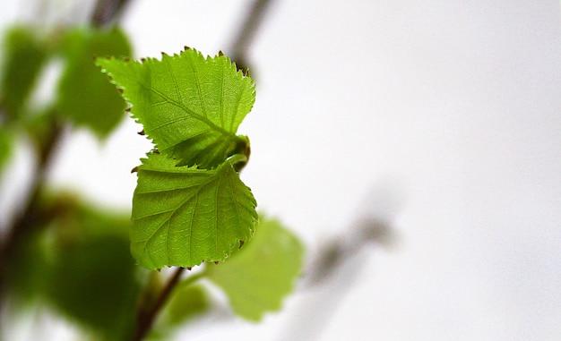 Foglie fresche e amenti di betulla in primavera sfondo astratto