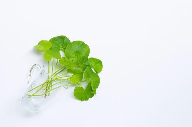 Foglie fresche di centella asiatica in vetro, erba e pianta medicinale.