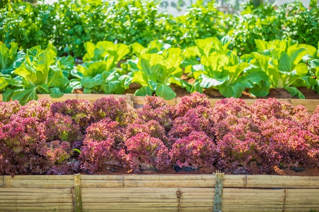 Pianta fresca dell'insalata della lattuga delle foglie rosse di lollo rossa nell'azienda agricola biologica