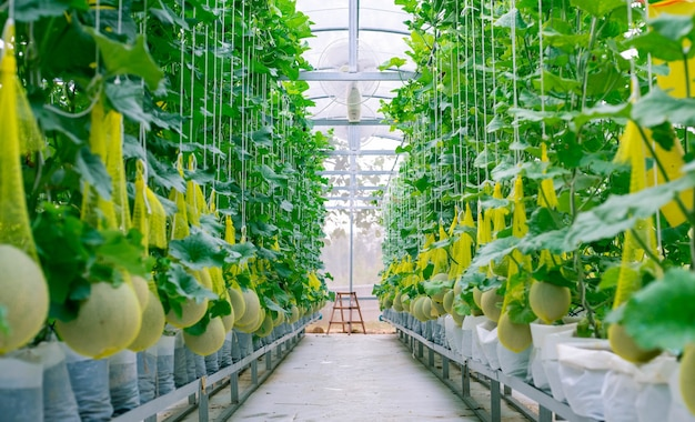 Melone fresco sull'albero in un'azienda agricola di plastica della casa sostenuta dalle reti del melone della corda