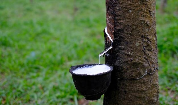 Il lattice lattiginoso fresco scorre dall'albero di gomma para in una ciotola di plastica a sfondo sfocato