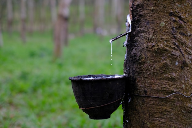 Lattice lattiginoso fresco scorre in una ciotola di plastica dall'albero della gomma para hevea brasiliensis