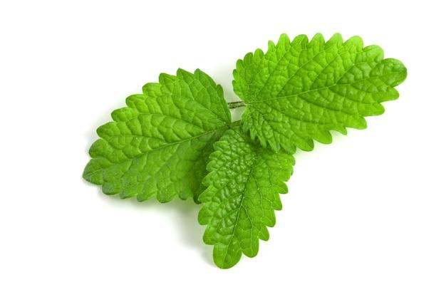 Foglie di menta fresca su sfondo bianco, foglie verdi isolate di piante profumate per cocktail e piatti gourmet.