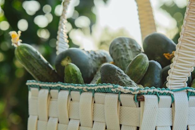 Cetrioli organici freschi in un cestino su una tabella di legno nel giardino. cibo sano verdure sull'insalata. buon raccolto. avvicinamento.