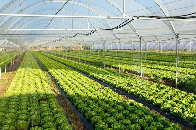 Piantine di lattuga biologica fresca in serra all'aperto
