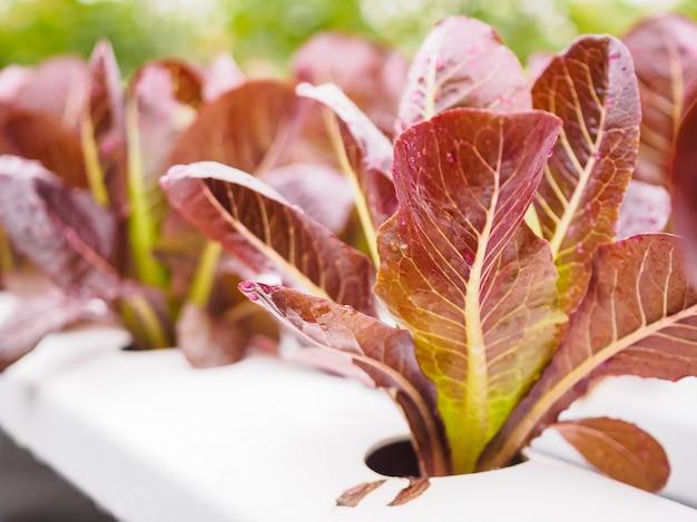 Pianta fresca organica dell'insalata della lattuga delle foglie rosse nel sistema dell'azienda agricola delle verdure di coltura idroponica