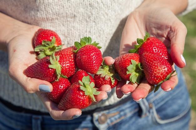 Fragole organiche fresche nelle mani di una donna. la ragazza raccoglie un raccolto di fragole fresche