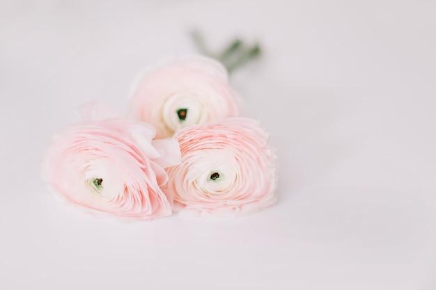 Ranuncolo rosa fresco su sfondo bianco