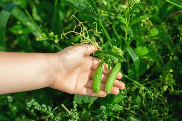 Baccelli freschi di piselli nelle mani del bambino in giardino in estate.