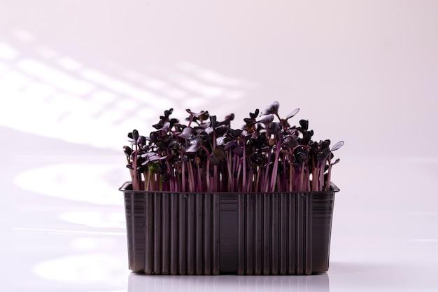 Germogli di ravanello viola freschi isolati su bianco