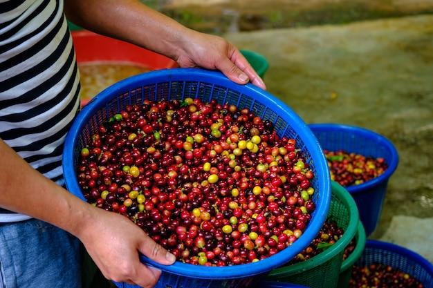 Chicchi di ciliegia di caffè crudo fresco nel cestino blu in mano degli agricoltori alla comunità industriale di chiang rai in thailandia