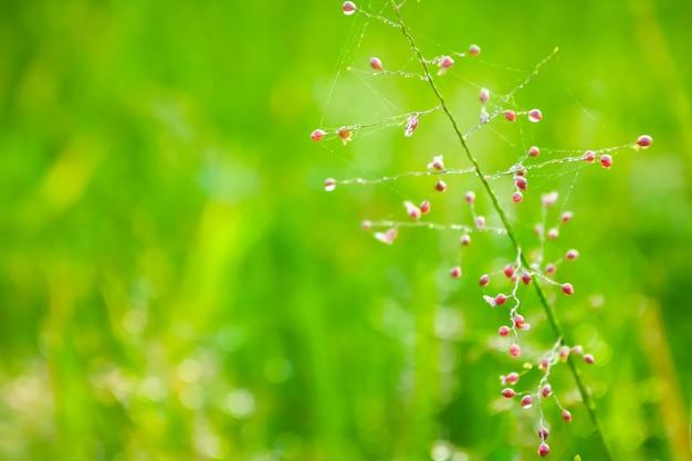 Fiore di erba rossa fresca con gocce di rugiada
