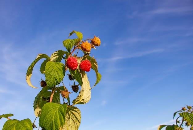 Lamponi rossi freschi che crescono su un ramo