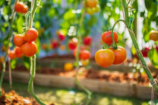 Pomodori maturi rossi freschi che appendono sulla pianta della vite che cresce nell'orto biologico