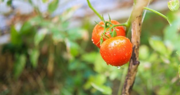 Pianta di pomodori maturi rossi freschi che appende sulla crescita della vite in orto biologico pronto per il raccolto