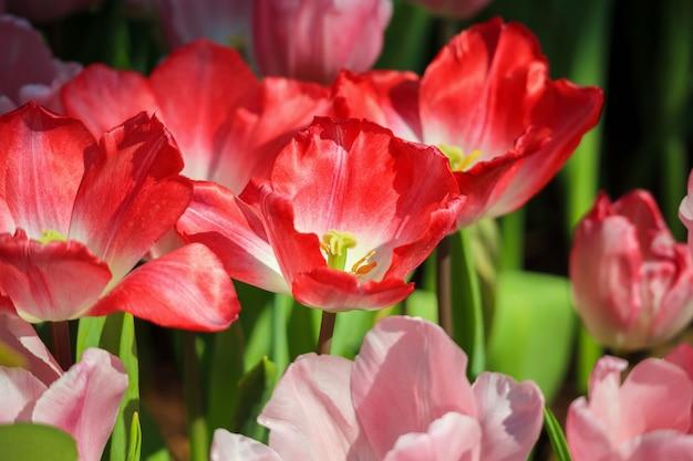 I tulipani rossi freschi fioriscono nel giardino