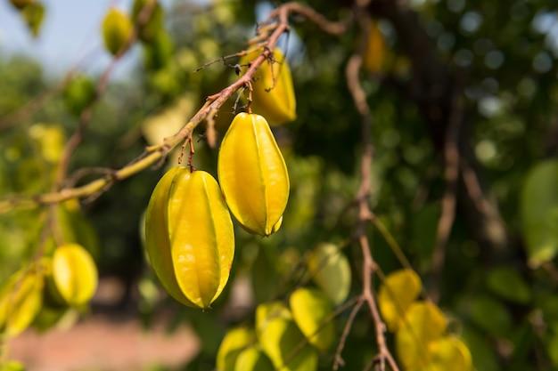 Starfruit maturo fresco o mela stella, carambola, appeso al ramo di un albero