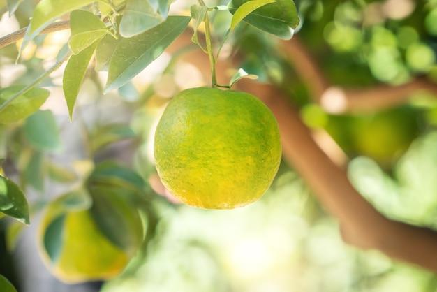 Mandarino mandarino maturo fresco sull'albero nel frutteto del giardino degli aranci con retroilluminazione del sole.