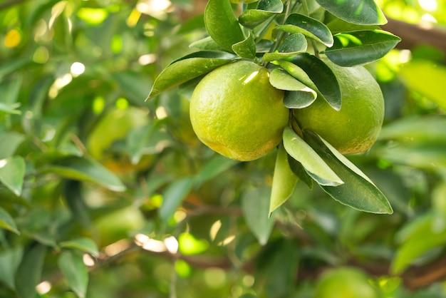 Mandarino maturo fresco del mandarino sull'albero nel frutteto del giardino degli aranci con retroilluminazione del sole.