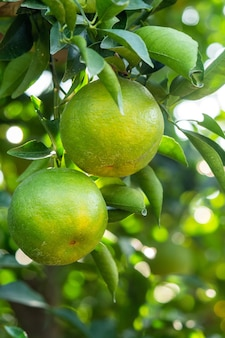 Mandarino maturo fresco mandarino sull'albero nel frutteto del giardino di arance con retroilluminazione del sole.