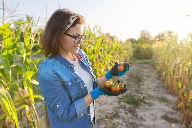 Pomodori strappati freschi dal giardino nelle mani. donna giardiniere, hobby e tempo libero che coltiva ortaggi biologici. orto autunnale estivo, letti con mais, spazio copia