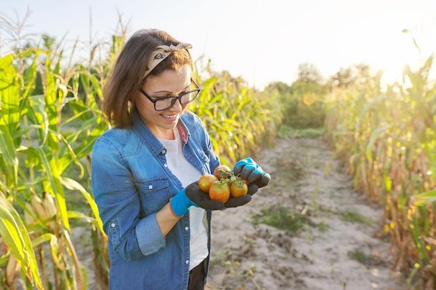 Pomodori freschi strappati dal giardino nelle mani. donna giardiniere, hobby e tempo libero che coltiva ortaggi biologici. orto autunnale estivo, letti con mais, spazio copia