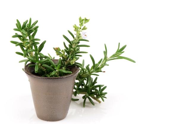 Fiori freschi del rosmarino e foglie verdi isolati su bianco.