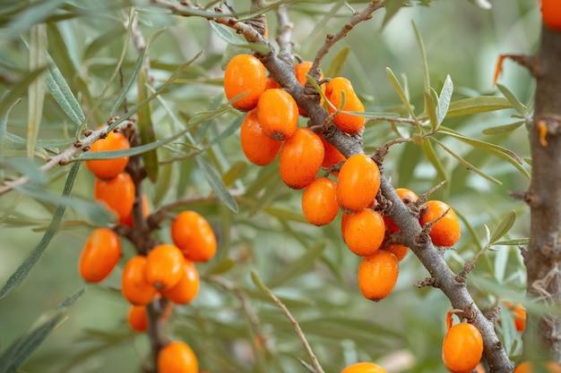 Bacche fresche dell'olivello spinoso che crescono sul ramo