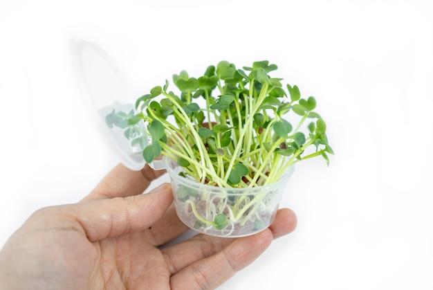 Semi germinati freschi di piccoli microgreens per lo stile di vita ecologico. cucina sana, alimentazione sana