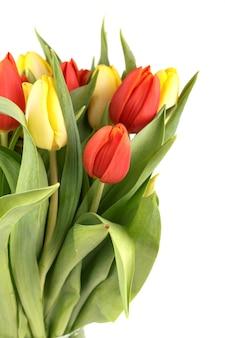 Tulipani freschi della sorgente isolati su una priorità bassa bianca