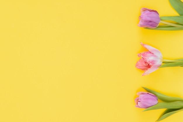 Tulipani freschi di primavera su uno sfondo giallo