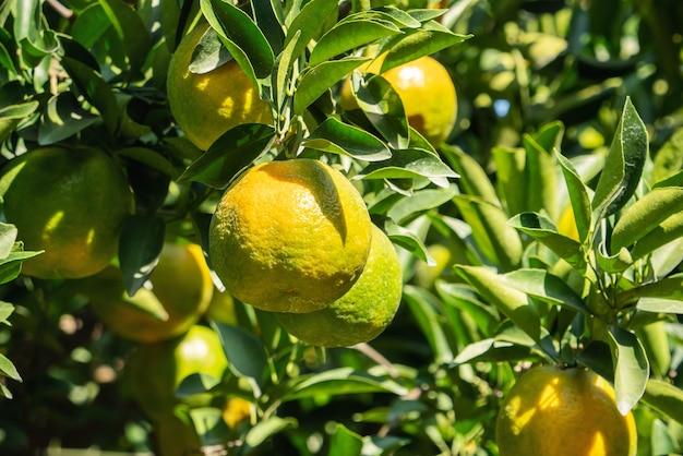Mandarino fresco sull'albero nel frutteto del giardino degli aranci con retroilluminazione del sole.