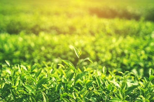 Foglie fresche di tè in mattina con la luce del sole