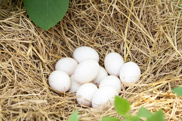 Uova bianche fresche dell'anatra in un nido in paglia