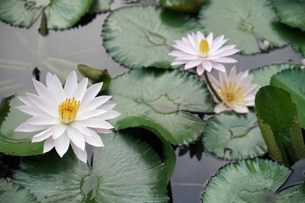 Loto bianco fresco con pistillo giallo su piscina naturale con foglie verdi